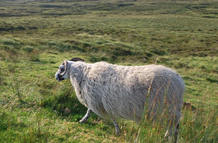 овца Шотландия