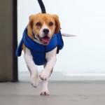 Видео: Собака KLM возвращает пассажирам потерянные вещи в аэропорту Амстердама