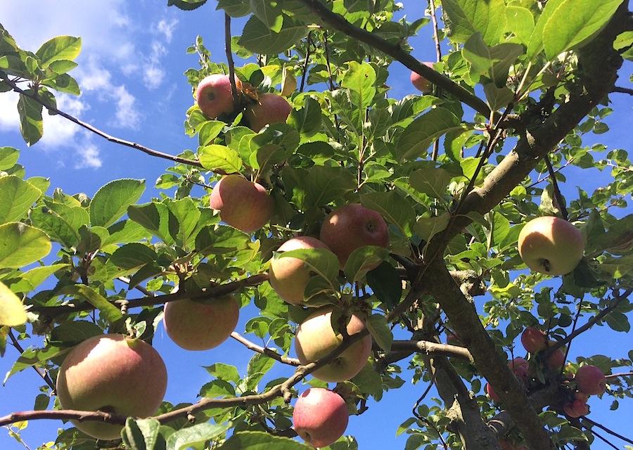 яблоки,  apple, яблоко, яблоня, Швеция