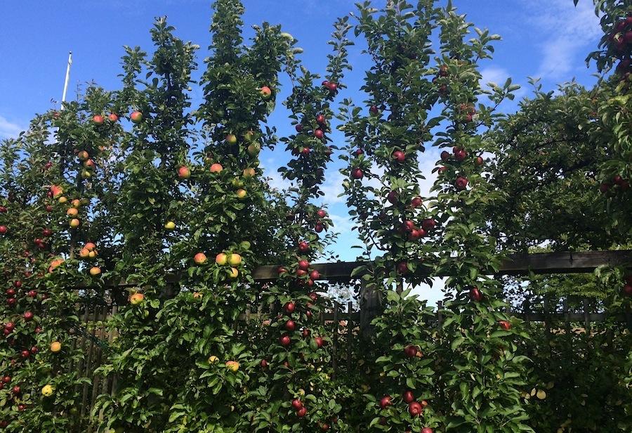 яблони, сад, яблоки, яблочные сады, Швеция
