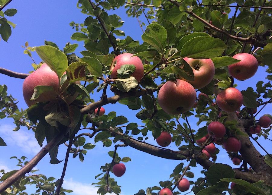 яблоки, яблоко, яблоня, Швеция
