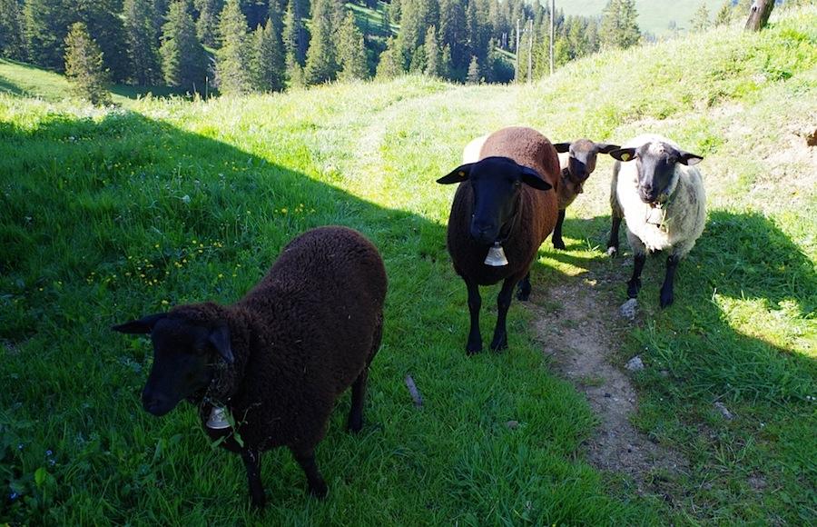 коровы в Шато д'Э, Швейцария