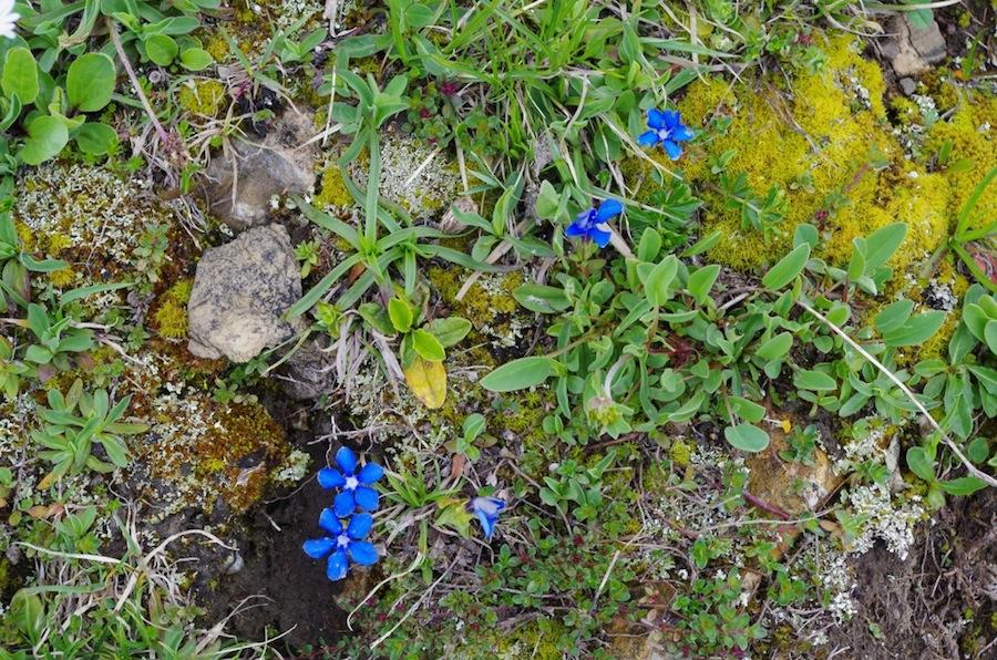 горные растения, Швейцария