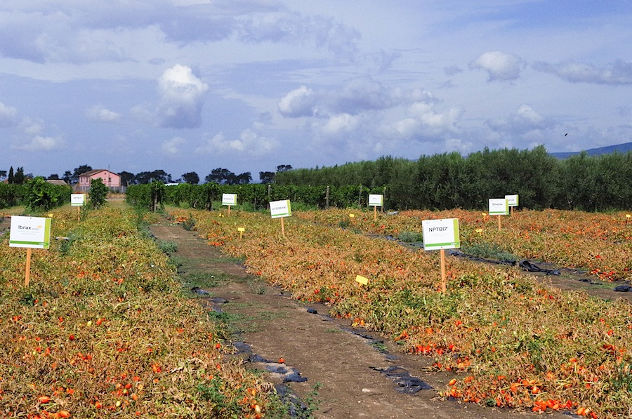 помидоры на полях Syngenta
