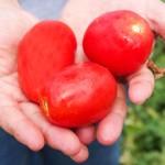 Секрет итальянских хозяек: консервированные помидоры пелати