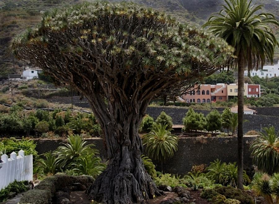 драконовое дерево, Тенерифе