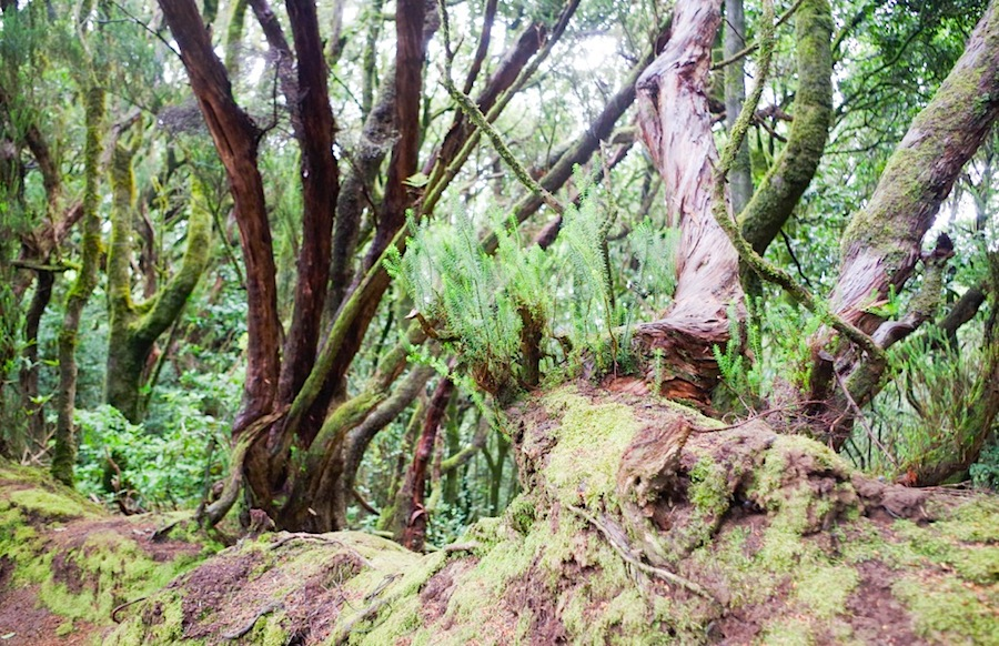 лавровые леса, Тенерифе