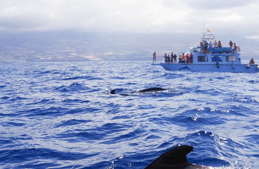 наблюдение за дельфинами, Тенерифе