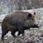 Мясной специалитет Тосканы: продукты из мяса дикого кабана