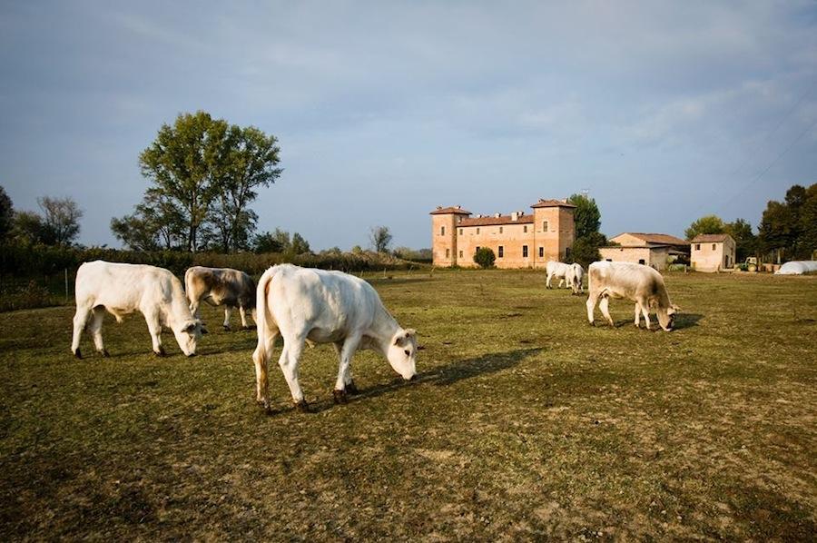 коровы пасутся близ сыры в Antica Corte Pallavicina