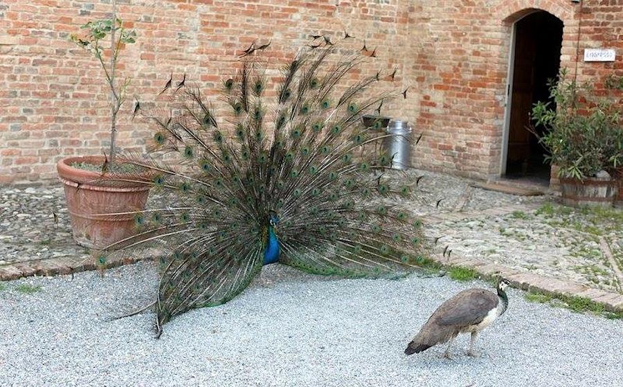 павлин в Antica Corte Pallavicina