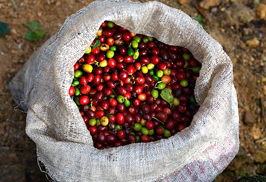 Коста-Рика, свежесобранный кофе