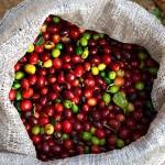 Кофе в Коста-Рике: наш репортаж с кофейной фермы