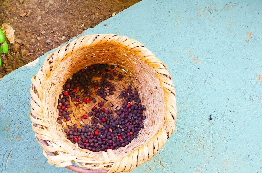 Подсушенные кофейные ягоды
