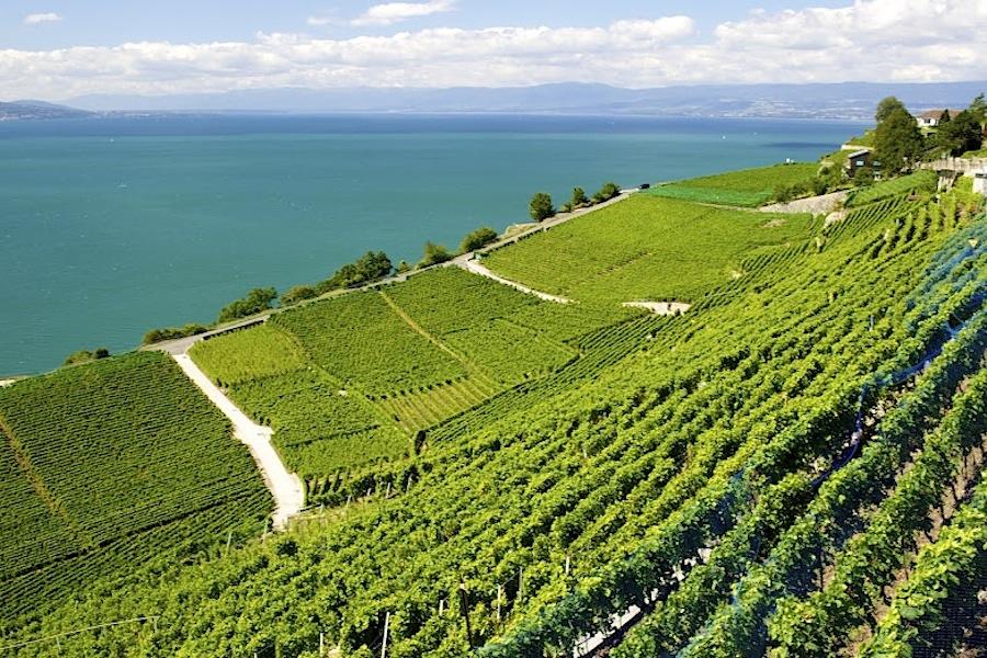 виноград, Швейцария, виноградные лозы