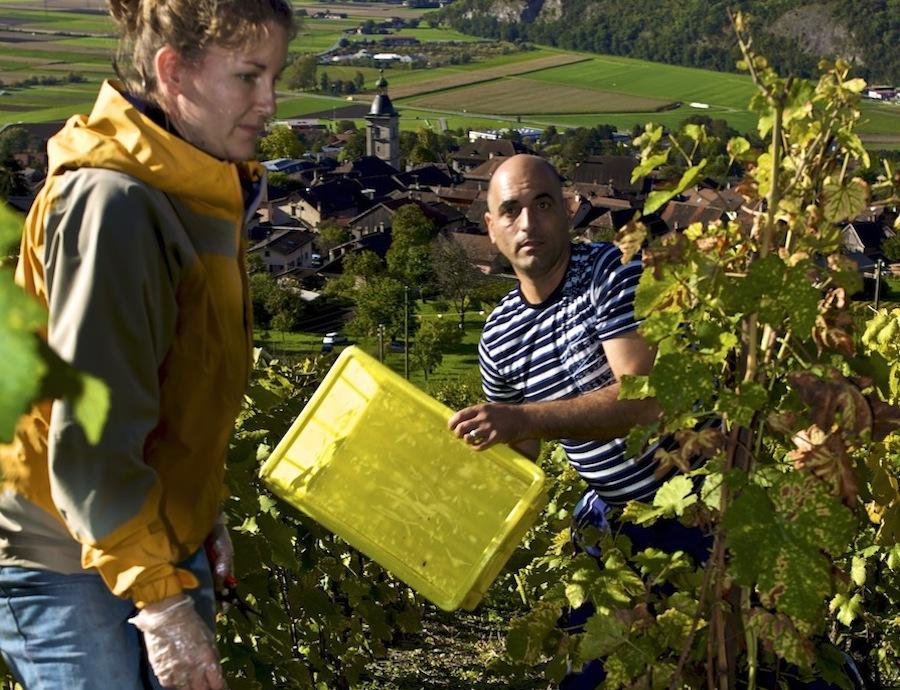 Сбор винограда, виноградники Оллона