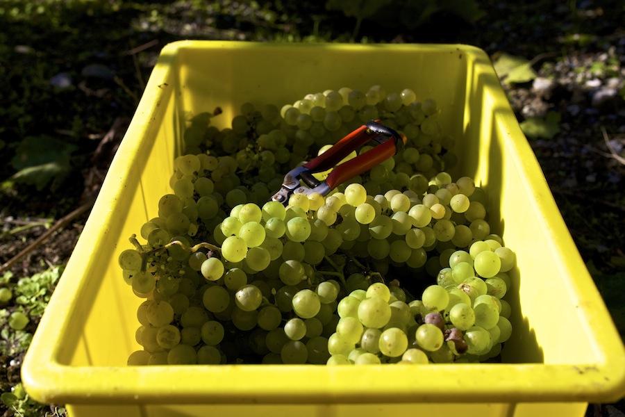 швейцарское вино, белый виноград, срез винограда, сбор винограда, вино