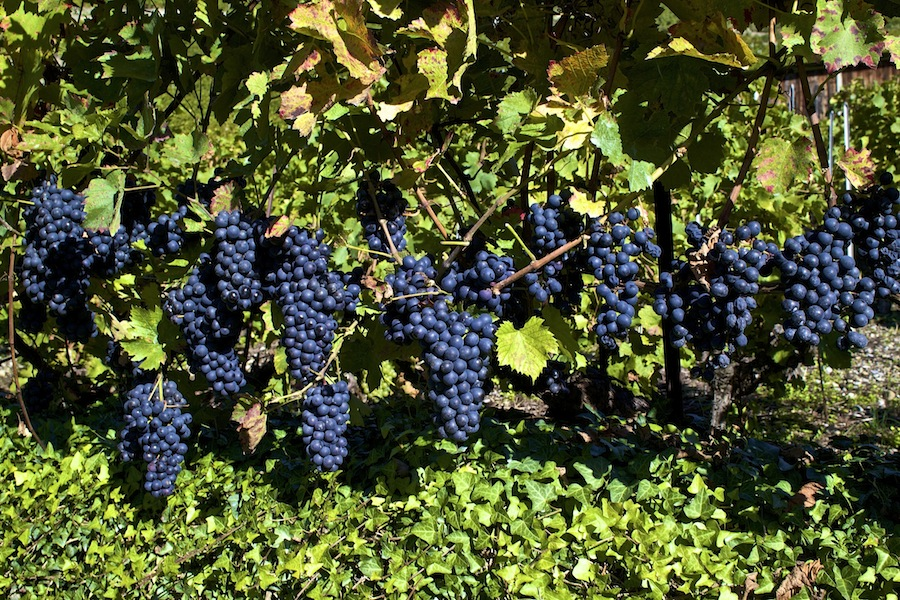 красное вино, виноградники, вина, швейцарские вина