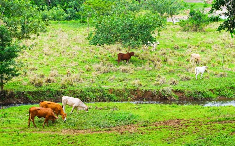коровы на лугах Коста-Рики