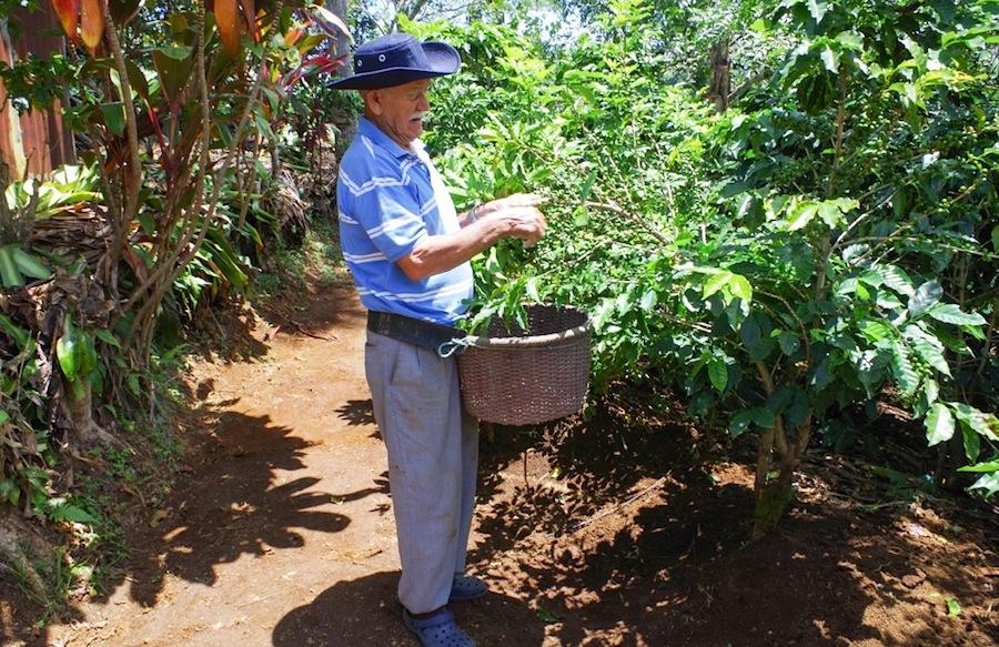Дон Мануэль с корзиной для сбора кофейных зерен, Коста-Рика