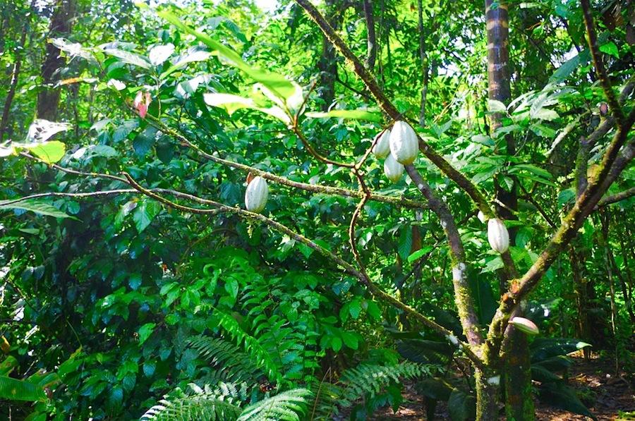 какао деревья, Tirimbina Biological Reserve, шоколадные деревья