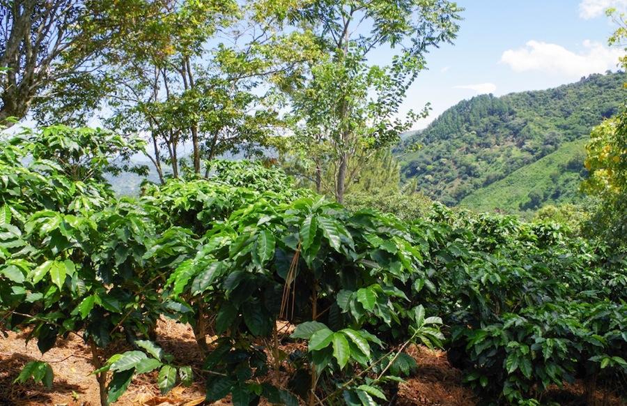 Кофейные деревья, Коста-Рика