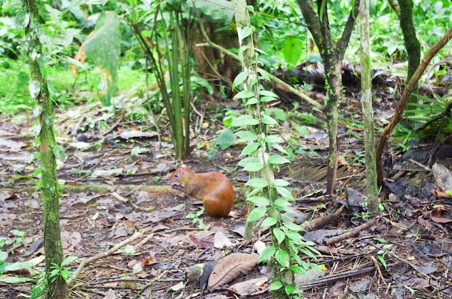 Мышиный олень, Коста-Рика