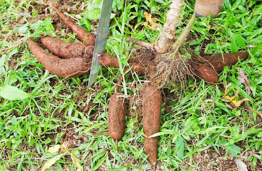 Корень Cassava