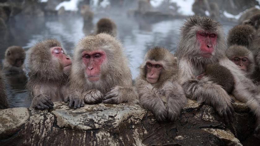 Горячие источники с обезьянками в Нагано, Япония