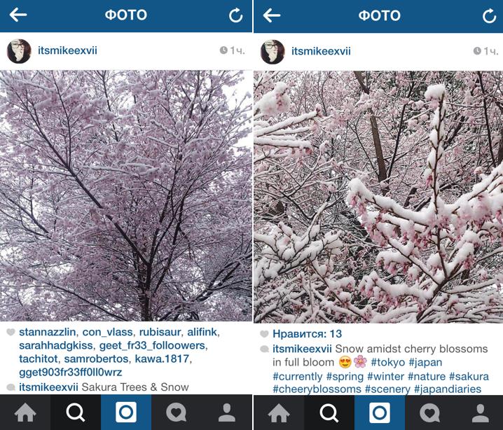 сакура под снегом