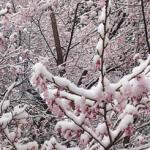 Сакура под снегом: в Токио наступила зима в апреле