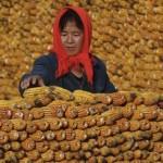 Внезапно. В Китае сегодня выращивают больше кукурузы, чем риса