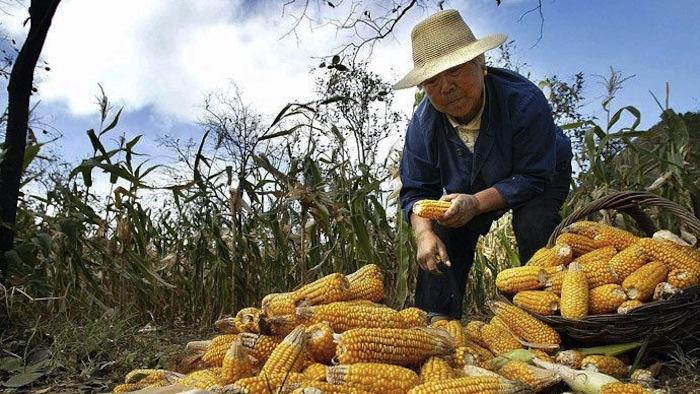 кукуруза в Китае