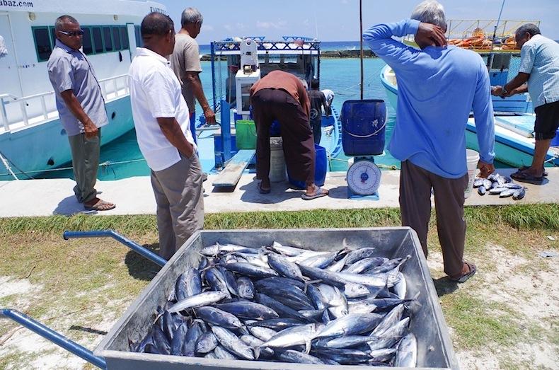 Улов из тунца на острове, Мальдивы