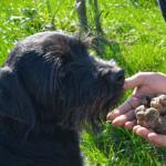 Трюфельная охота в Истрии: ищем деликатесные грибы в лесу