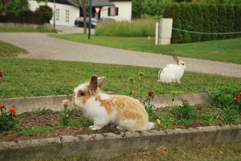 кролики, Австрия, Каринтия