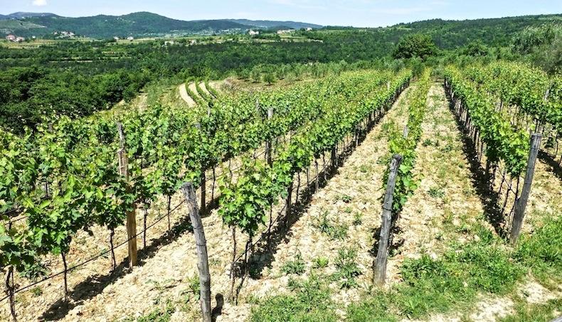 виноградные плантации близ Мотовуна, Хорватия