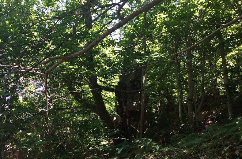 волшебные деревья Галисии