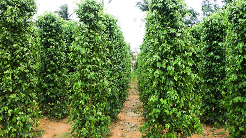 Перечная ферма, Фукуок, Вьетнам