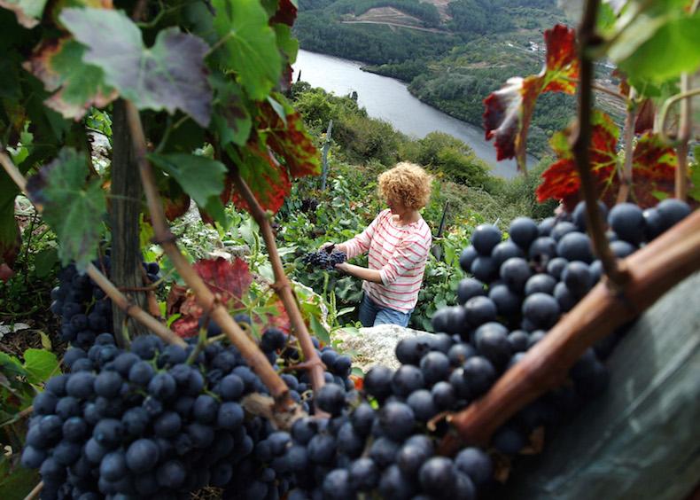 сбор винограда на склоне реки Миньо (Miño)