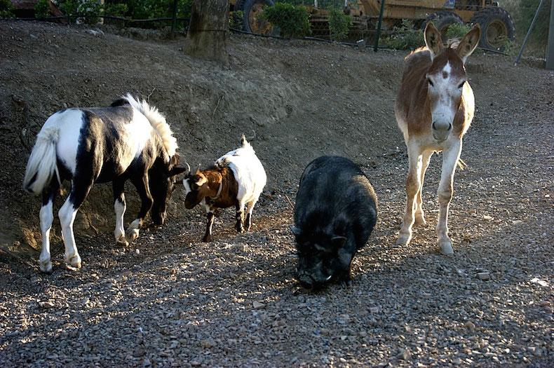 свиньи, ослы на ферме San Lorenzo
