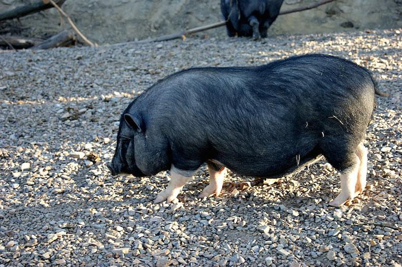 ферма San Lorenzo, тосканские черные свиньи с белыми ногами сinto senese