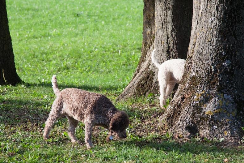 охота на трюфели с собаками лаготто