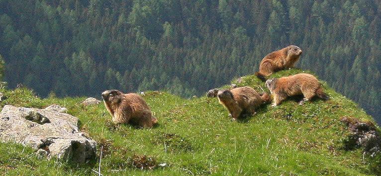 сурки в Альпах