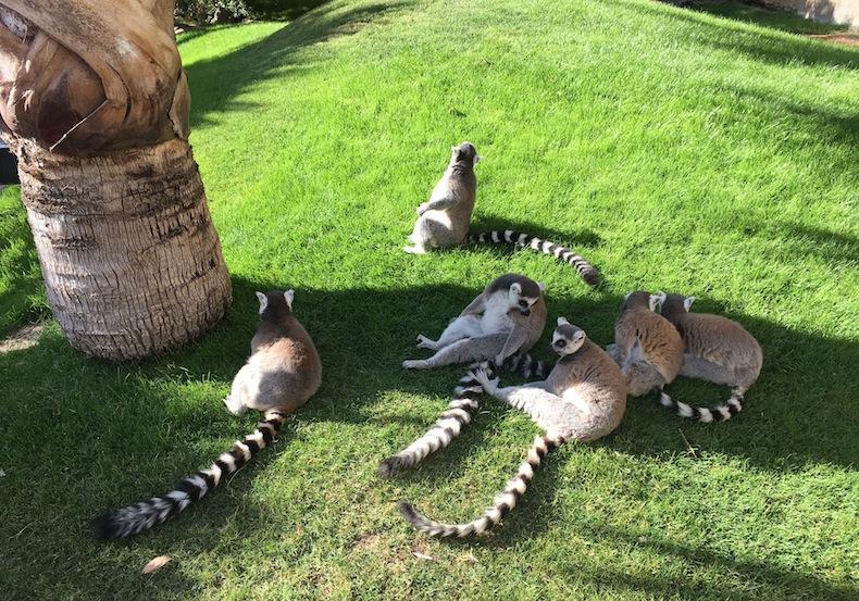 лемуры в Биопарке Валенсии