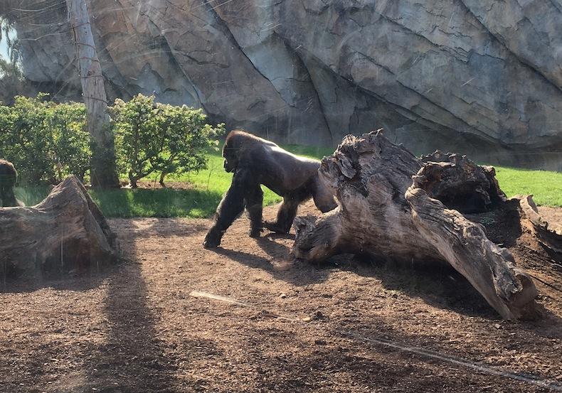 горилла на прогулке в Биопарке