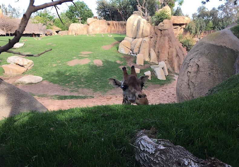 жираф знакомится с посетителями, Биопарк Валенсия