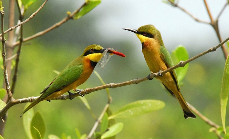 гамбия птицы