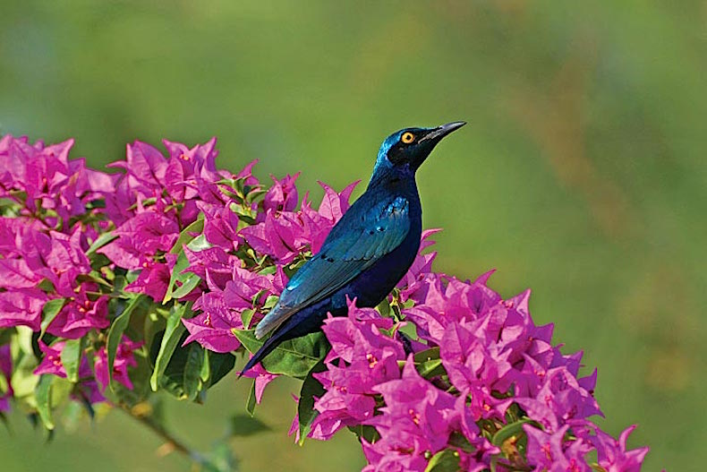 птицы Гамбия