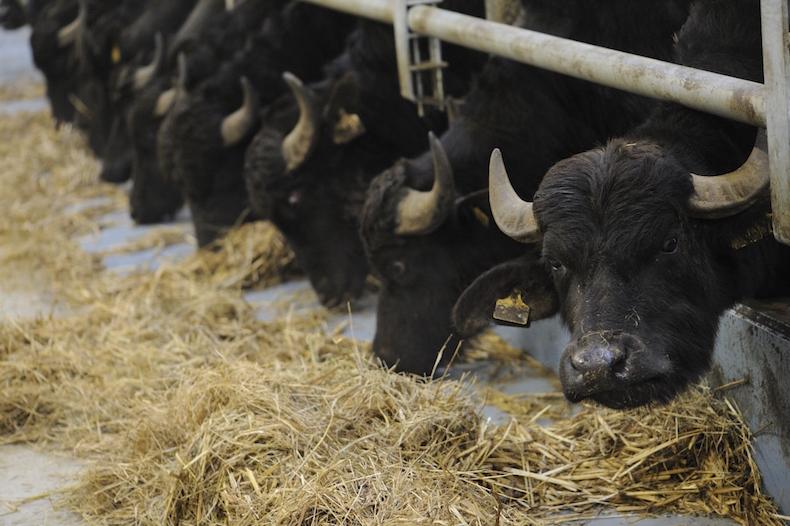 черные буйволицы
